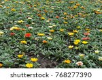 multicolored flowers of gazania ... | Shutterstock . vector #768277390
