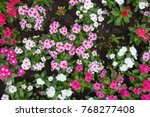 multicolored flowers of... | Shutterstock . vector #768277408