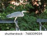 Grey Heron Sitting On A Bench...