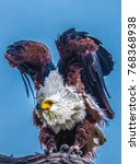 Small photo of African fish eagle, Chobe National Park, Botswana