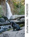 "Cute Old ""Mastador""—Labrador Retriever and Mastiff Mix—Dog at Drift Creek Falls in Oregon"