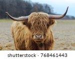 scotish highland cattle | Shutterstock . vector #768461443
