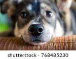 small sad dog with sad eyes ... | Shutterstock . vector #768485230