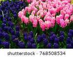 blue hyacinth flowerbed | Shutterstock . vector #768508534
