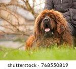 tibetan mastiff in the summer... | Shutterstock . vector #768550819