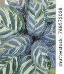 calathea zebrina  the zebra... | Shutterstock . vector #768572038