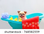Stock photo chihuahua dog taking a shower with duck toys and red towel in blue bucket 768582559