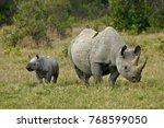 Black rhinoceros calf with its...