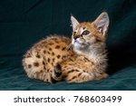 Kitten Serval  Wild Cat  Photo...