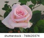 Royal Highness Hybrid Rose Fro...
