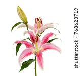 beautiful pink lily flower... | Shutterstock . vector #768623719