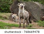 spotted hyena  crocuta crocuta  ... | Shutterstock . vector #768669478