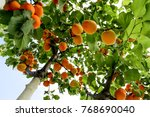 Apricot Tree In Summer
