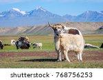 baby yak drinking milk from its ... | Shutterstock . vector #768756253