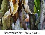 Dry Banana Leaves.