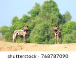 Two Wild Dogs Stand Against A...
