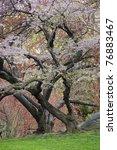 Cherry Tree  Prunus Sargentii ...