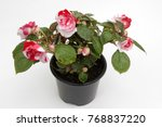 Begonia. Red And White Begonia...