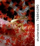 Small photo of Spider crab, Achaeus spinosus
