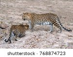 a leopard scared of another...   Shutterstock . vector #768874723