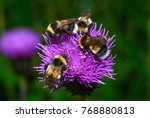 A Group Of Bumblebees  Bombus...