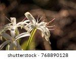 white swamp lily flower crinum...   Shutterstock . vector #768890128
