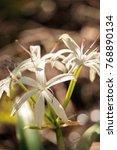 white swamp lily flower crinum...   Shutterstock . vector #768890134