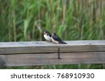 juvenile swallows on a jetty | Shutterstock . vector #768910930