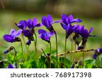 blooming in spring close up.... | Shutterstock . vector #768917398