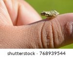 A Super Tiny Brown Tree Frog...