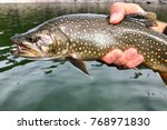 Small photo of A large fish (trout) caught by a fly fisherman - splake, Lake Trout and Brook Trout hybrid