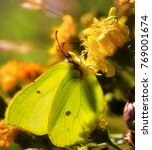 Small photo of Common Brimstone Butterfly Sharing a Flower with a Goldenrod Crab Spider