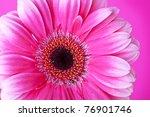 Pink gerbera flower on pink background. Closeup - stock photo