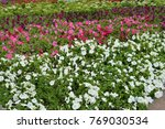 colorful flowerbeds petunia... | Shutterstock . vector #769030534
