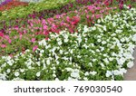 colorful flowerbeds petunia... | Shutterstock . vector #769030540