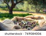 Harvested Fresh Olives In Sacks ...