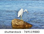 Great White Egret Hunting For...