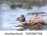 Small photo of Common Moorhen build nest , The Common Moorhen is a waterbird in the rail and crake family