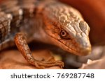 Small photo of close up of Alligator lizard