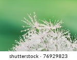 close up of wet dandelion seed... | Shutterstock . vector #76929823