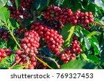 coffee bean on coffee tree in... | Shutterstock . vector #769327453