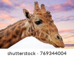 giraffe dubbo zoo  situated in... | Shutterstock . vector #769344004