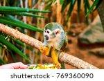 One Common Squirrel Monkey ...