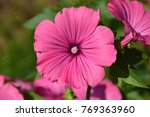 Small photo of Close up of purple lavatera or mallow. Funnel-shaped pink mallow flowers of Lavatera plant macro - family Malvaceae (Lavatera trimestris) on green background in flower garden. Big pink mallow flower