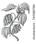 hops vintage drawing by ink... | Shutterstock .eps vector #769380784
