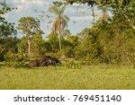 Amazing Giant Anteater Walking...