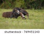 amazing giant anteater walking... | Shutterstock . vector #769451143