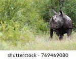 the white rhinoceros or square... | Shutterstock . vector #769469080