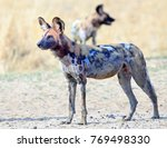 Small photo of Alert Wild Dog standing on the dry grass with a bloody fae after eating a kill in South Luangwa National Park