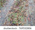 Fallen Dead Leaves On A Wet...